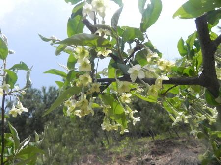 보리수나무꽃.JPG