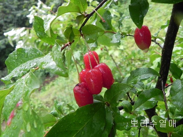 보리수열매.JPG
