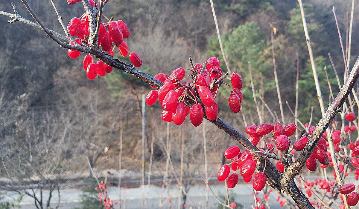 산수유열매