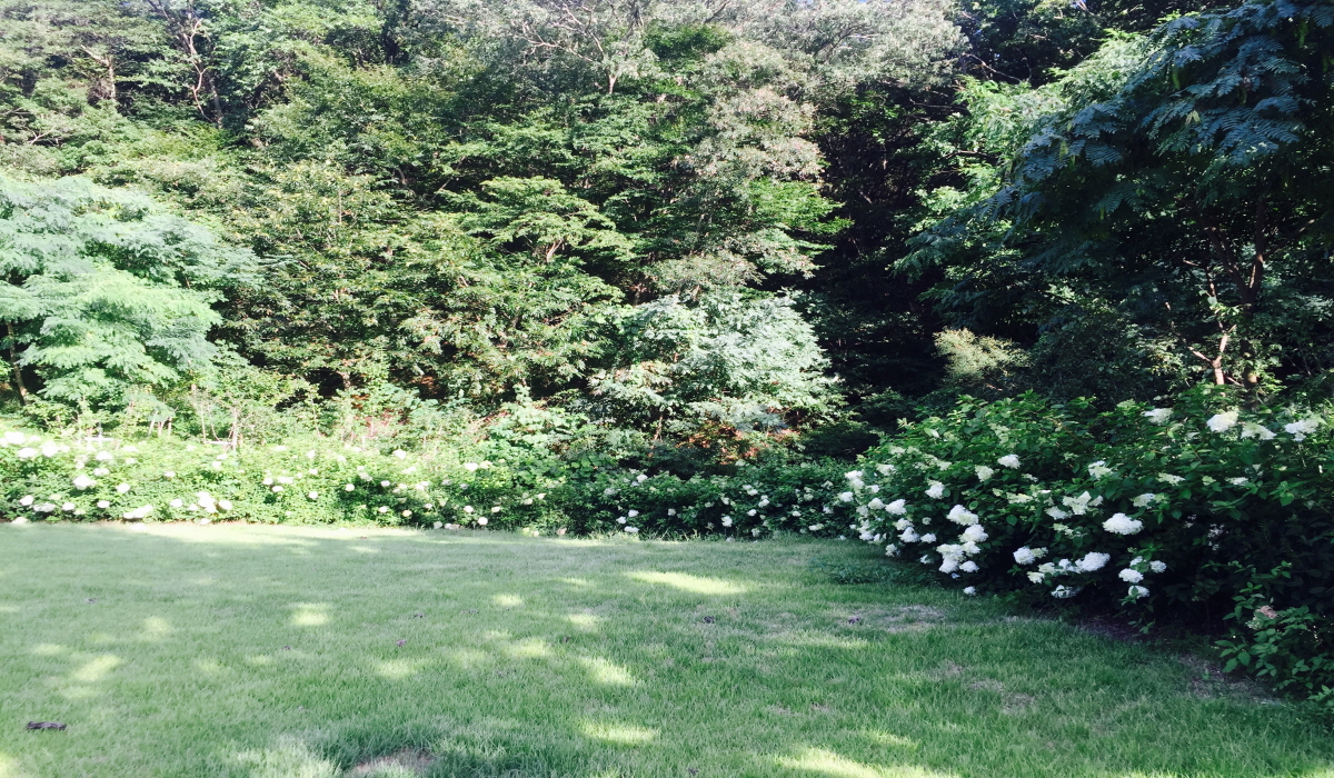 나무수국이 꽃을 피웠습니다