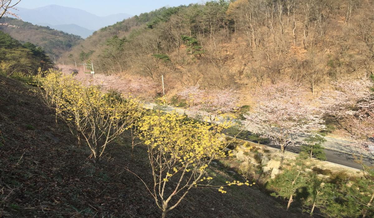 산수유와 벚나무가 사이 좋게 꽃을 피웠습니다