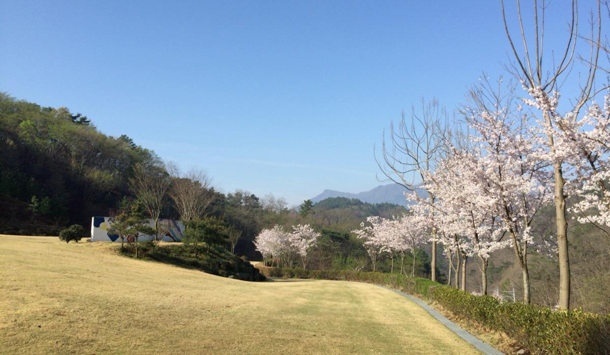 야외공연장 주변 벚꽃