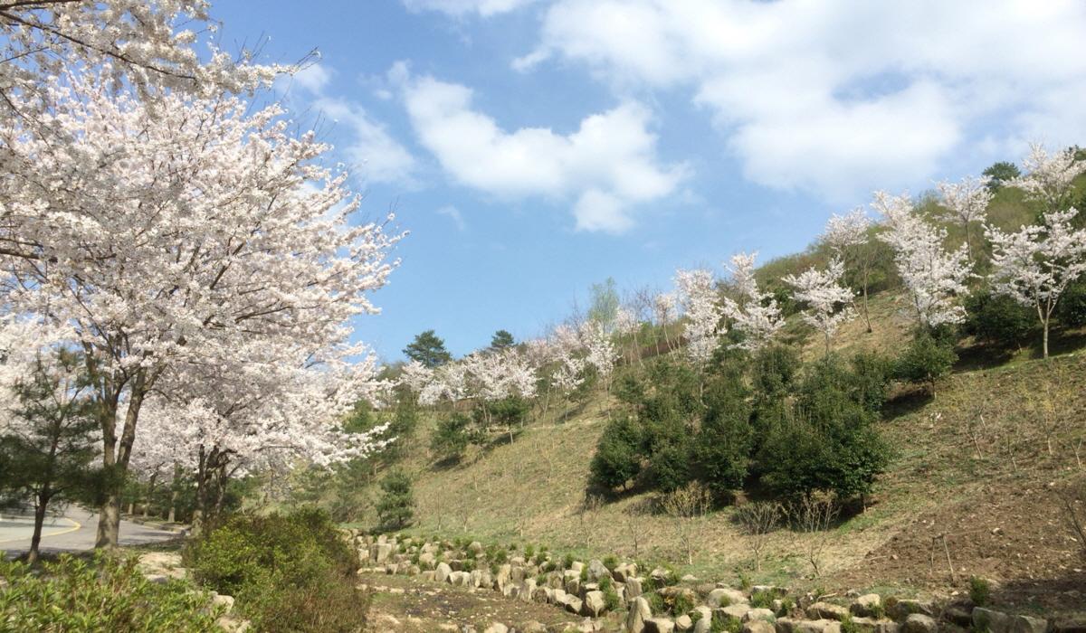 야영장 벚꽃