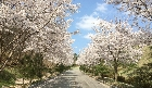 진입로 벚꽃