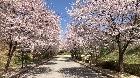 진입도로 벚꽃